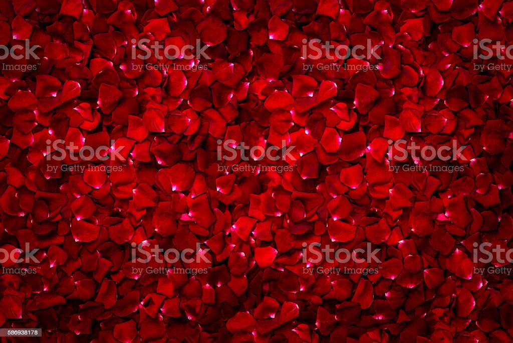 Background of beautiful red rose stock photo