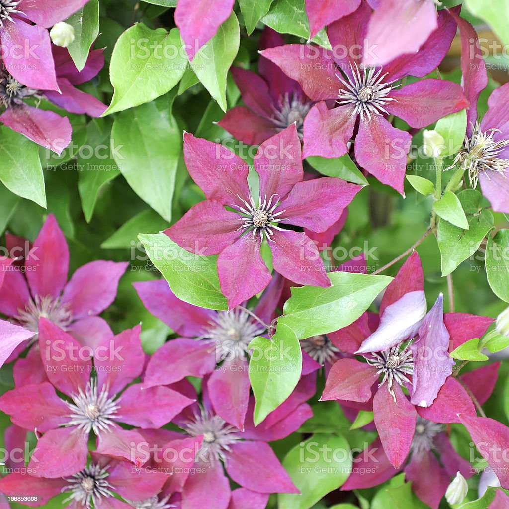 Background of clematis flowers in full bloom stock photo