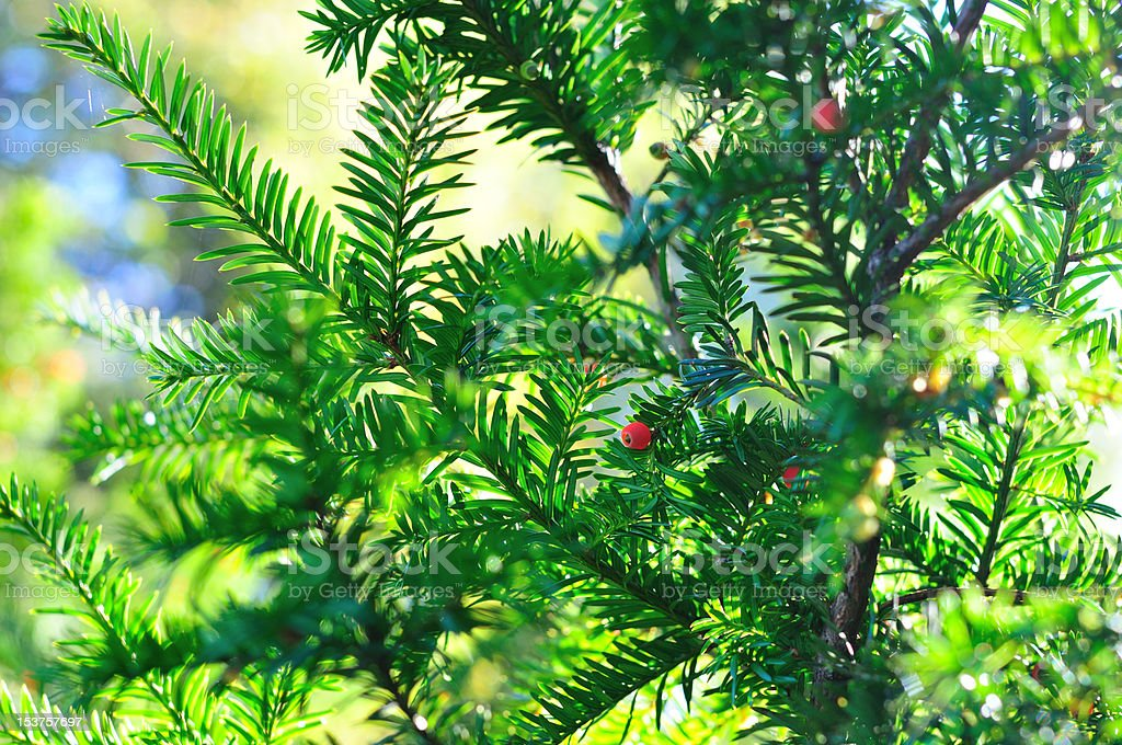 Background of coniferous branches with berries stock photo