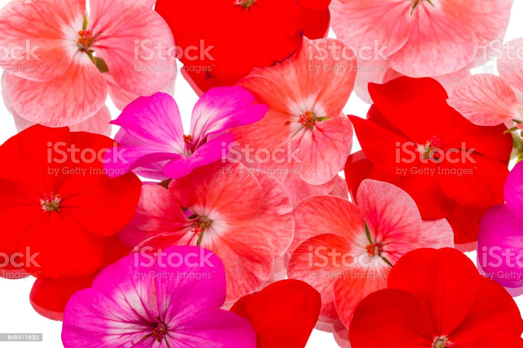 Background of flowers geraniums stock photo