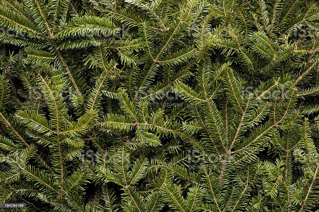 Background of Frasier Fir Evergreen Branches. stock photo