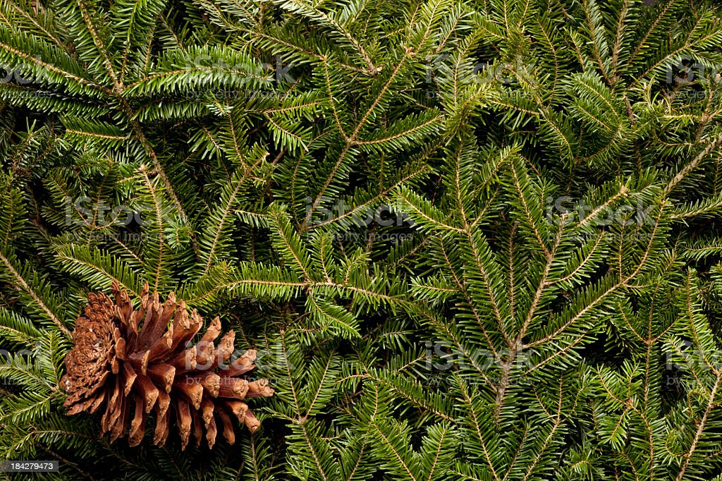 Background of Frasier Fir Evergreen Branches. XXXL stock photo