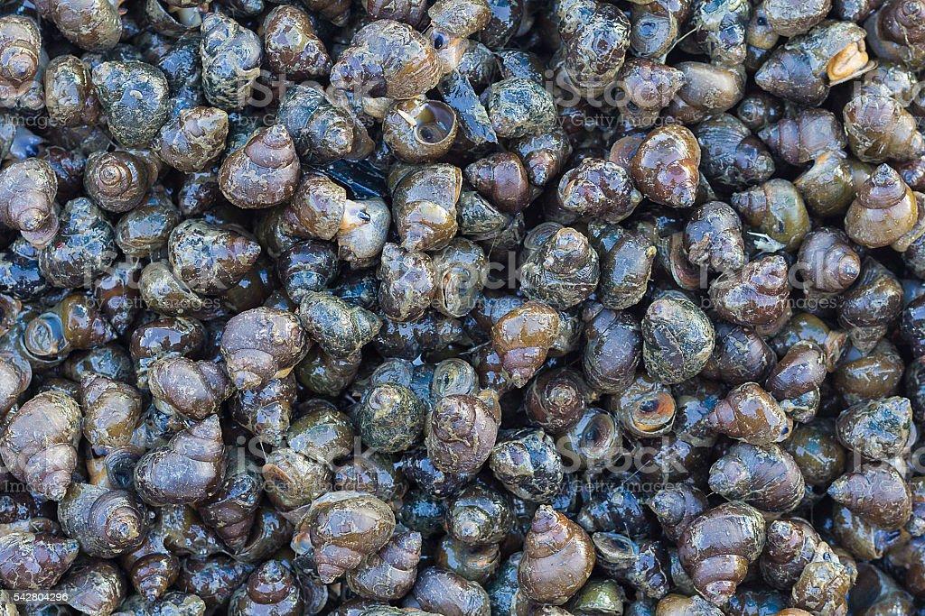 Background of Fresh common periwinkles stock photo