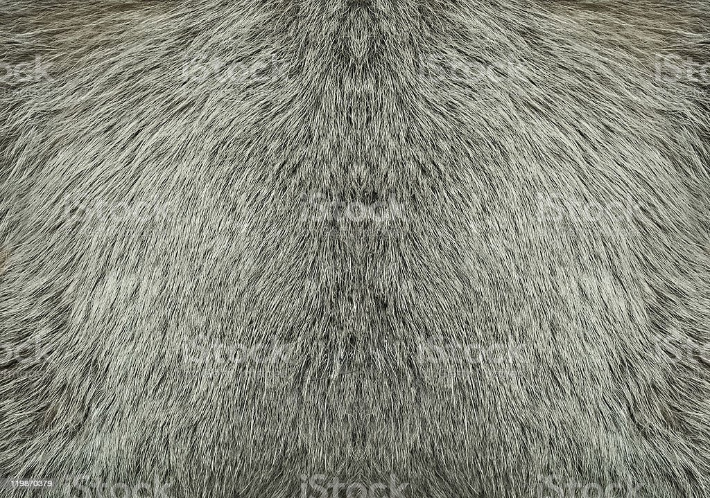 A background of gray fur from a wolf stock photo