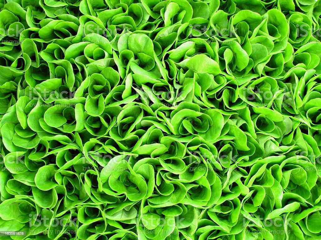 Background of green lettuce seedlings stock photo