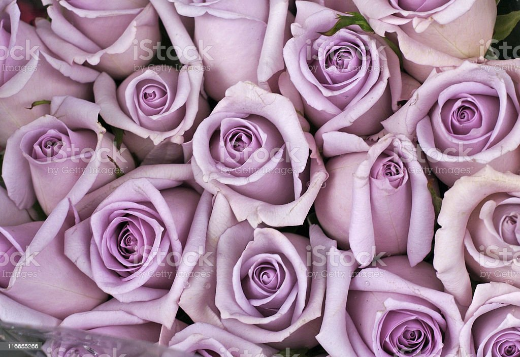 Background of lavender colored roses stock photo
