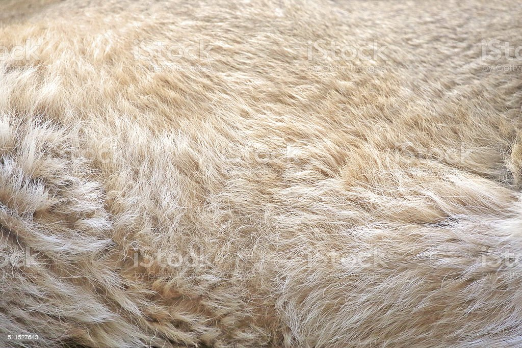 Background of lion fur stock photo