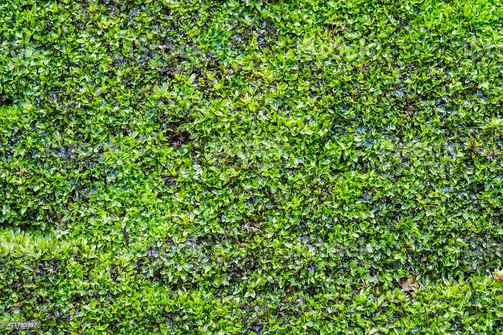 background of moss on old wall royalty-free stock photo