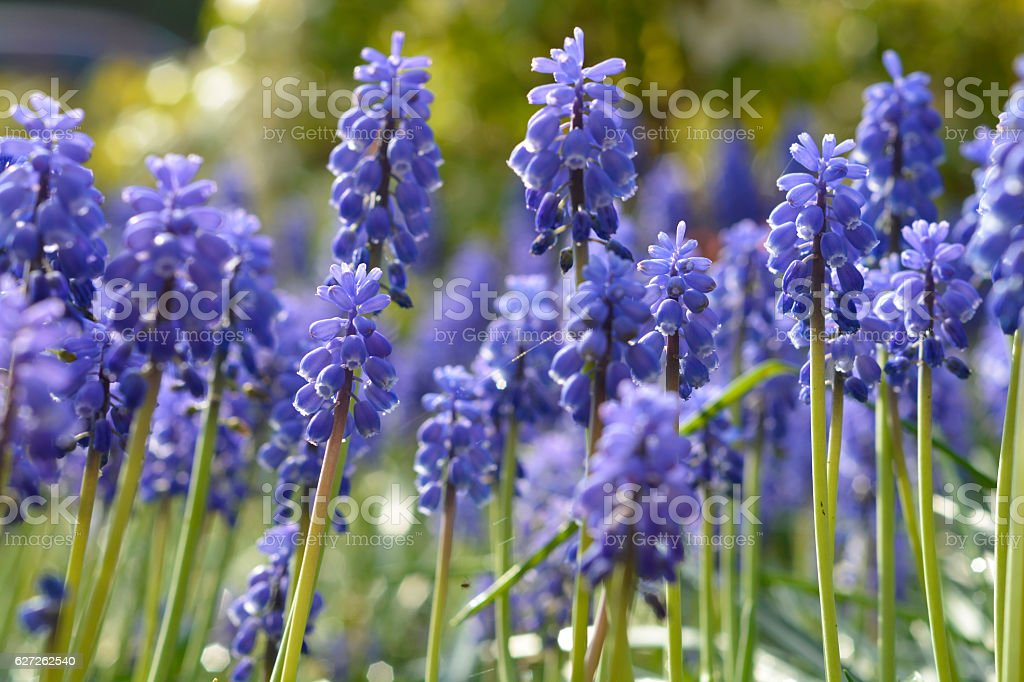Background of Muscari botryoides blue grapes hyacint in spring garden stock photo