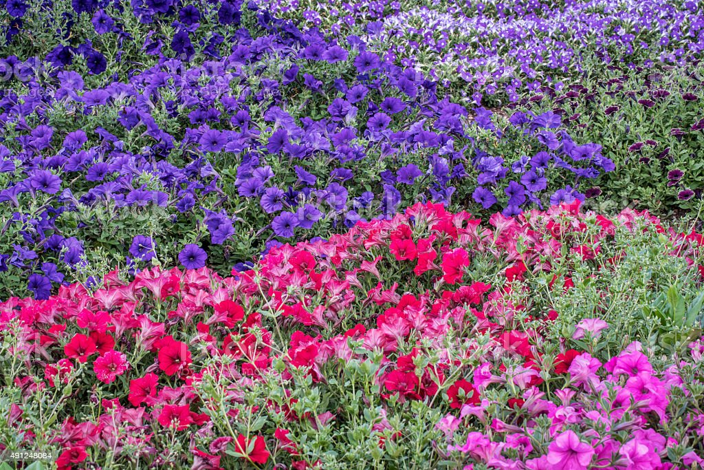 background of petunia flowers stock photo