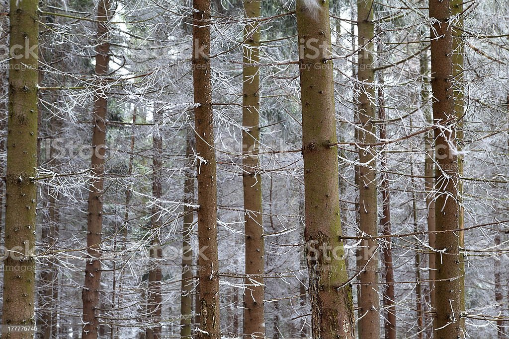 background of pine stem with frost royalty-free stock photo