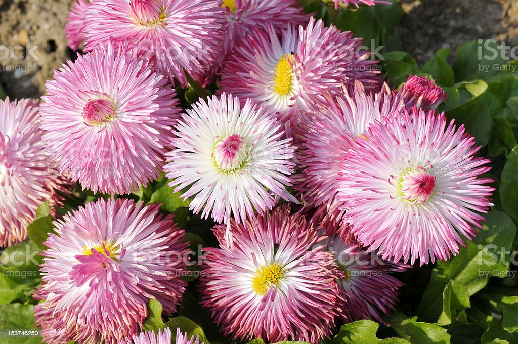 Background of pink daisies stock photo