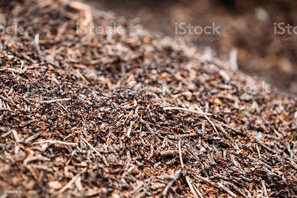 Background Of Red Ant Colony (Formica Rufa) stock photo
