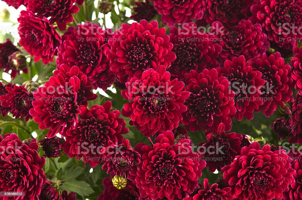 background of red chrysanthemums stock photo