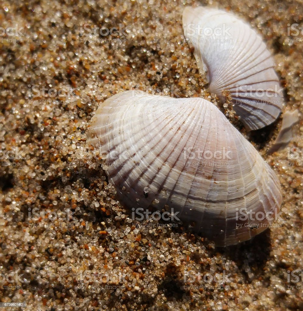 Background of river sand with  beautiful seashell. Close-up. Nature. stock photo
