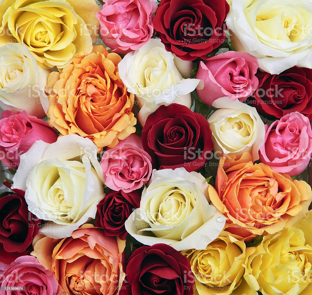 Background of rose blossoms royalty-free stock photo