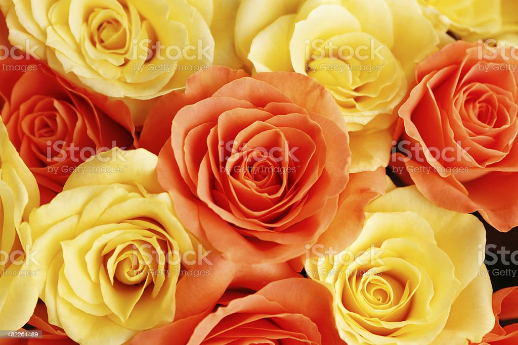 background of roses royalty-free stock photo