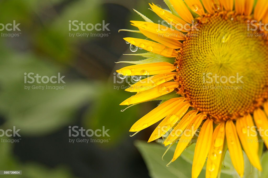 Background of sunflowers bloom in the field stock photo