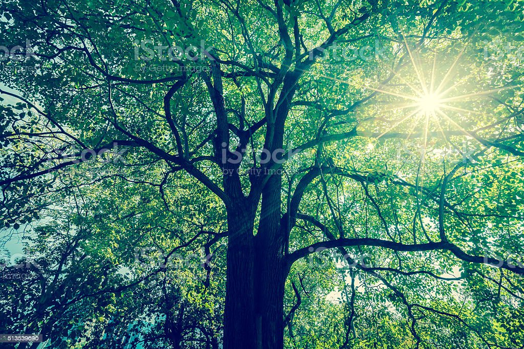 Background of tree branches with green foliage with sun radius. stock photo