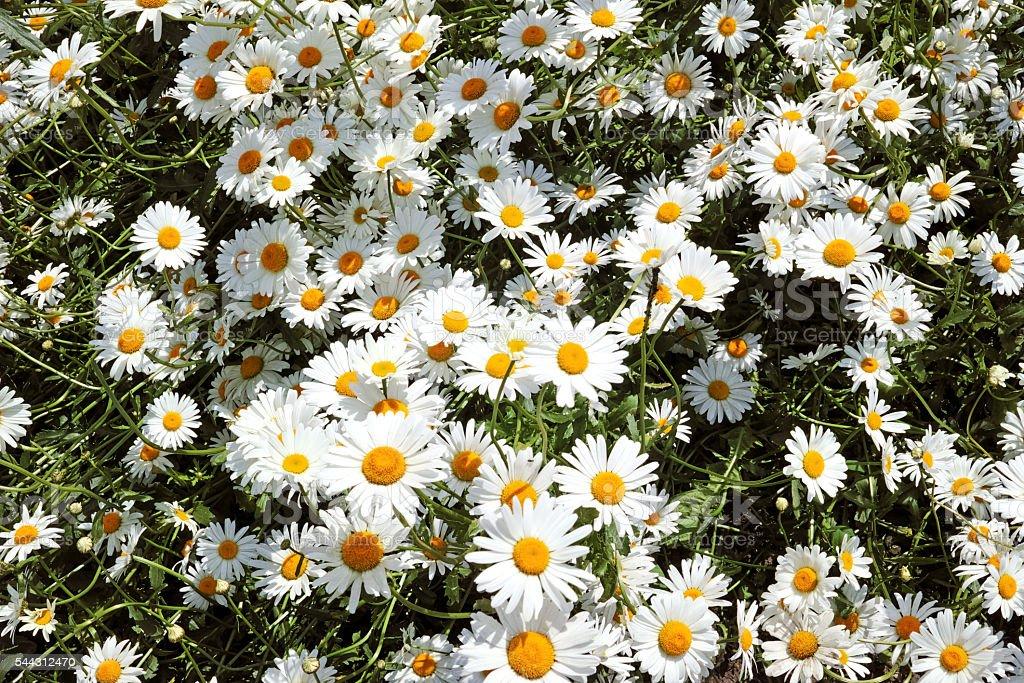 Background of wild daisies stock photo