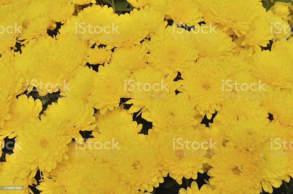 Tło z żółte kwiaty Złocień zbiór zdjęć royalty-free
