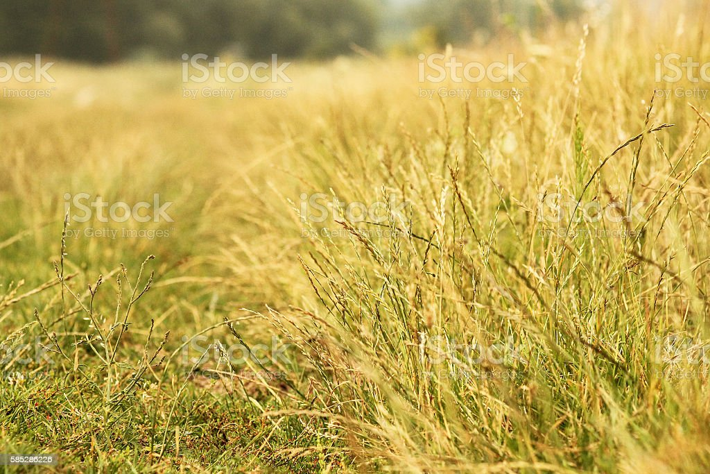 background of yellow grass spikelets stock photo