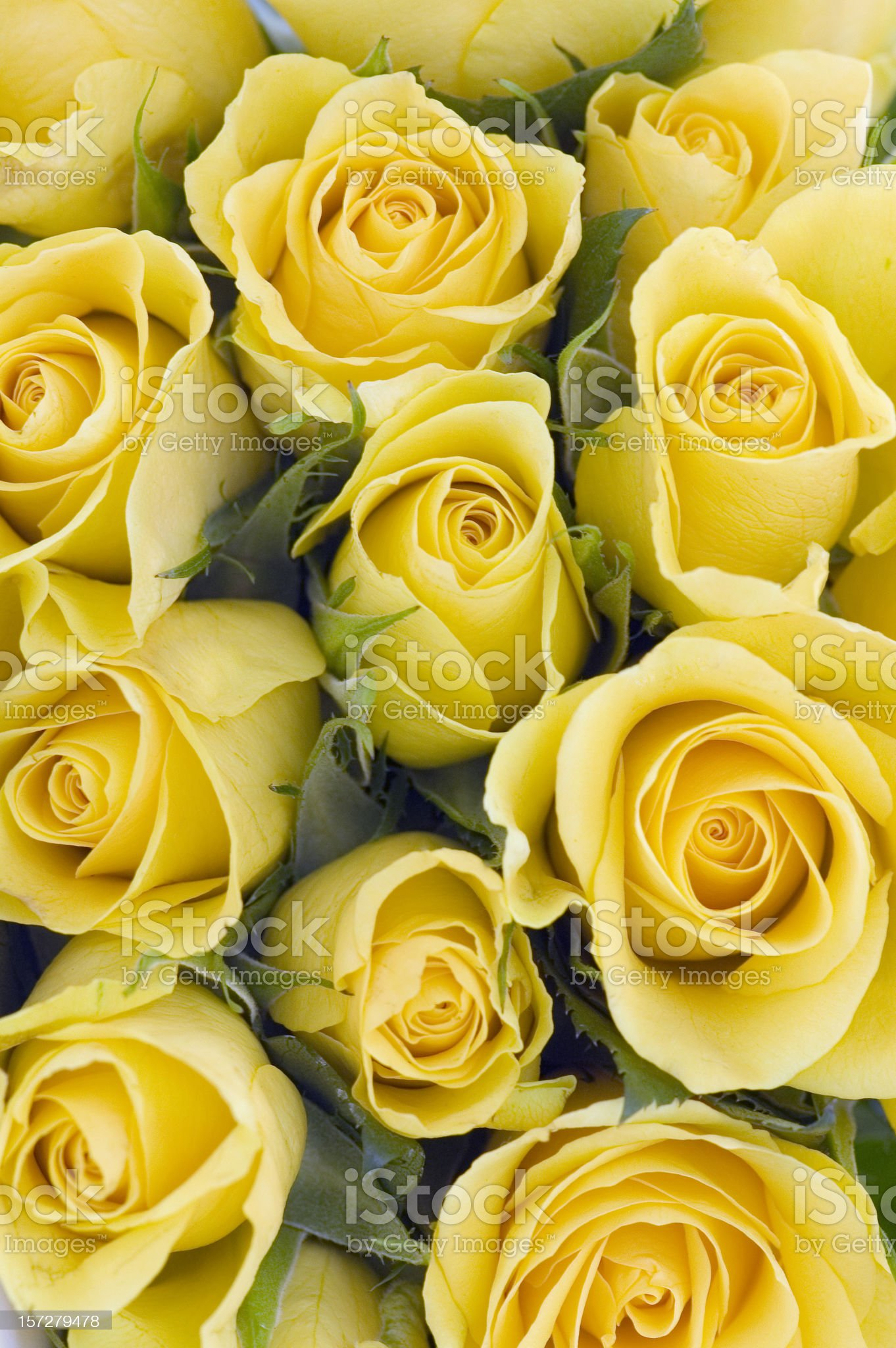 Background of yellow Roses royalty-free stock photo