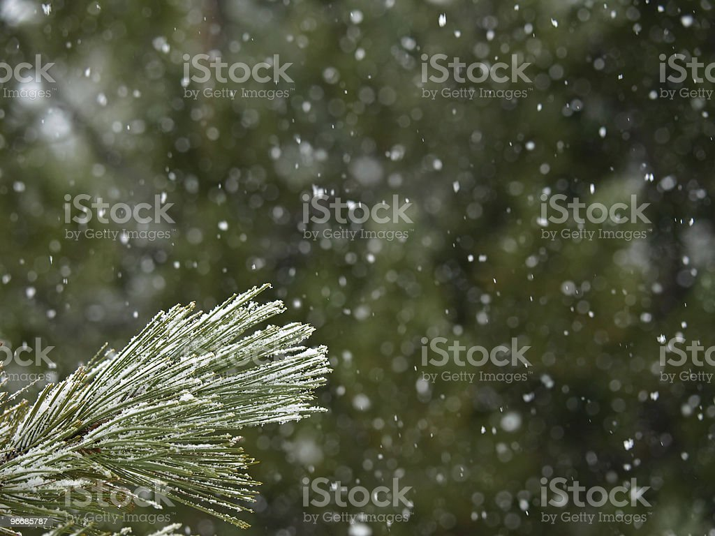 Background Picture of Pine in the Snow Storm royalty-free stock photo