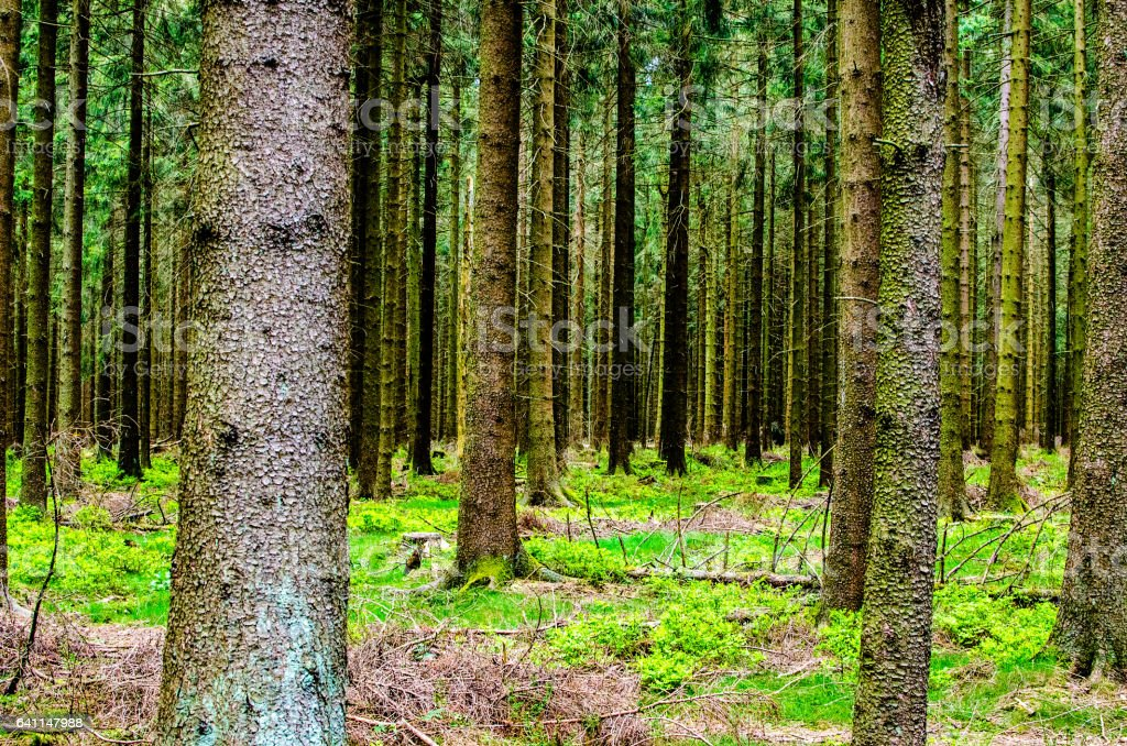 Background picture with fir trees in a forest stock photo