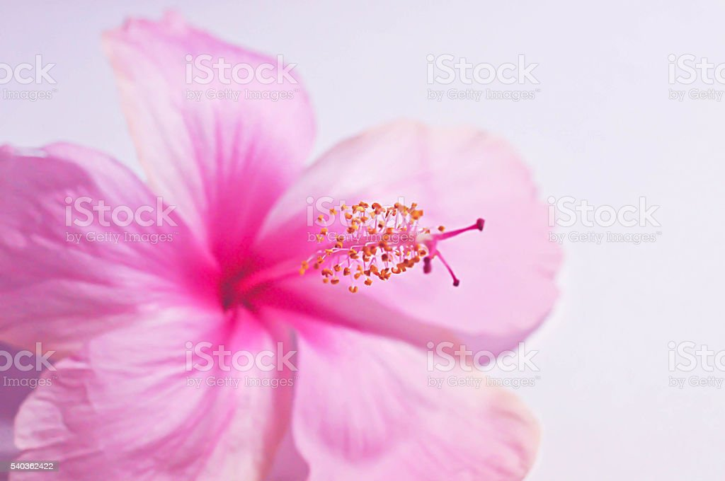 Background Pink Hibiscus flower. For work to you. stock photo