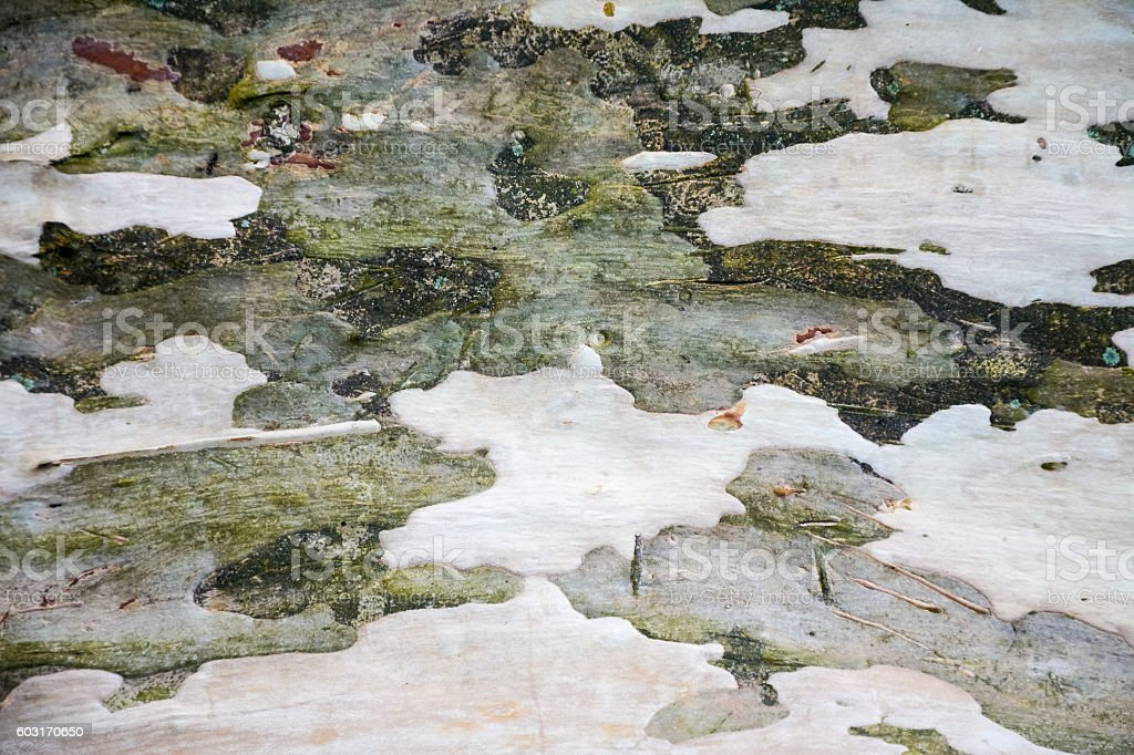 background, texture, abstraction green and gray bark of sycamore stock photo