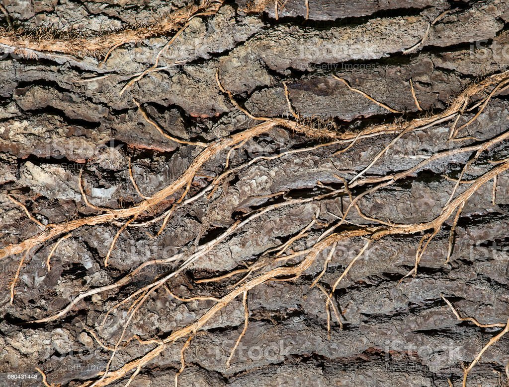 Background texture of flexible branches passing through the bark of an  tree stock photo