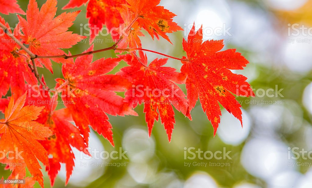 background texture of yellow leaves autumn leaf background. stock photo