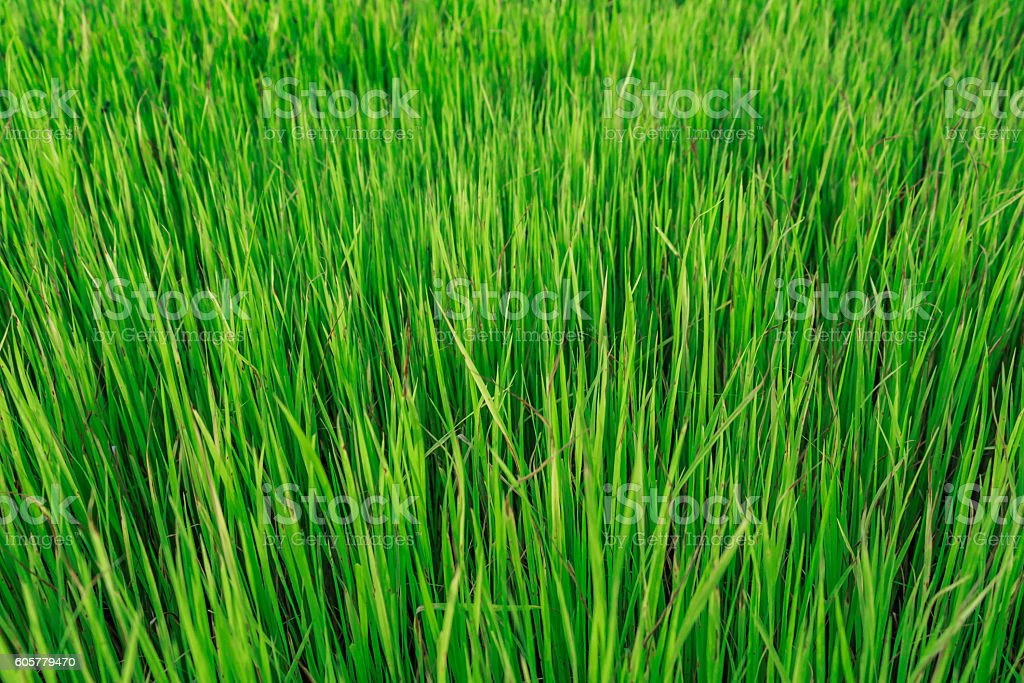 background texture with rice field stock photo