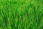 background texture with rice field