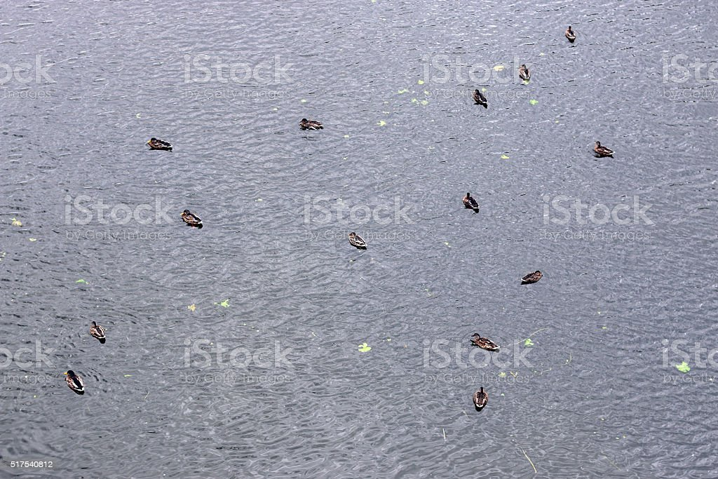 background water with ducks stock photo