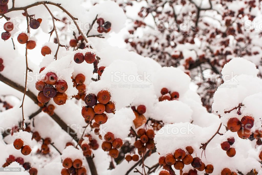 background winter landscape red berries stock photo