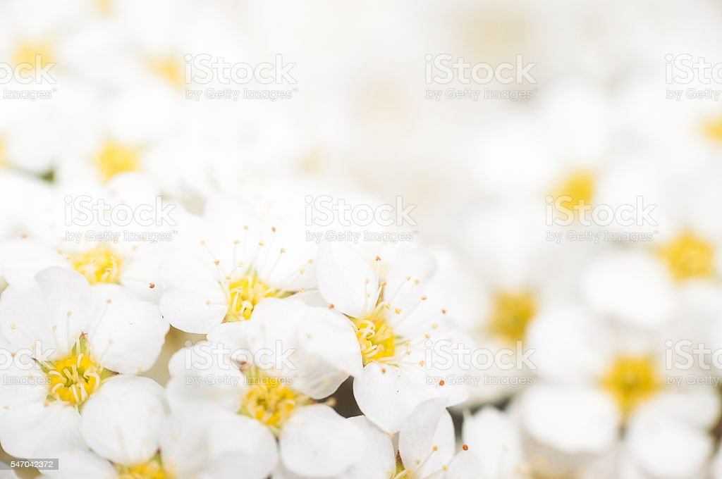 Background with a large group of wild jasmine stock photo
