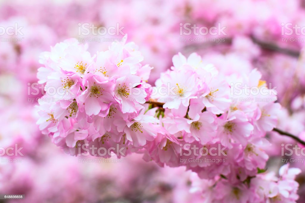 background with Beautiful pink cherry blossom, Sakura flowers stock photo