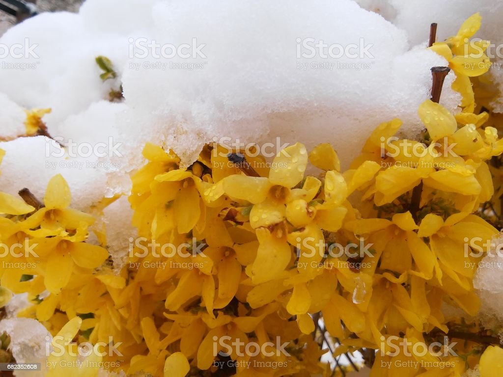 Background  with bush of Forsythia in the middle of snow stock photo