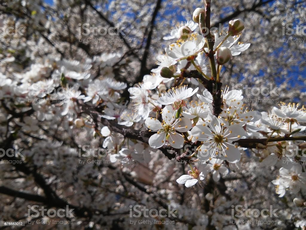 Background with many many little rings of plum tree stock photo