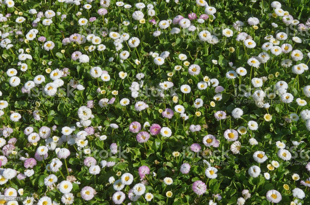 Background with multi colored daisies. stock photo