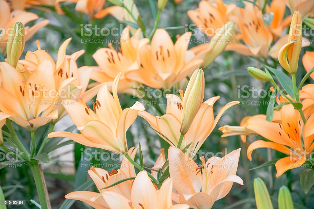 Background with set of orange lilies royalty-free stock photo