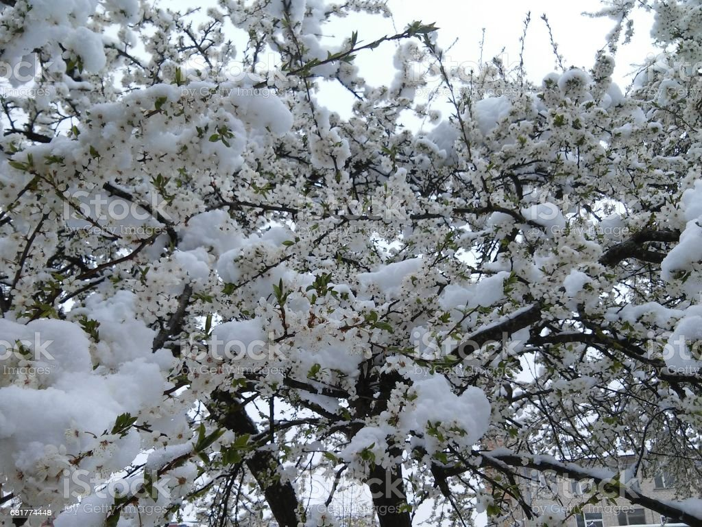 Background with tree in bloom with snow stock photo
