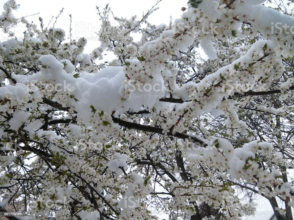 Background with tree of plum with many blossoms covered with snow stock photo