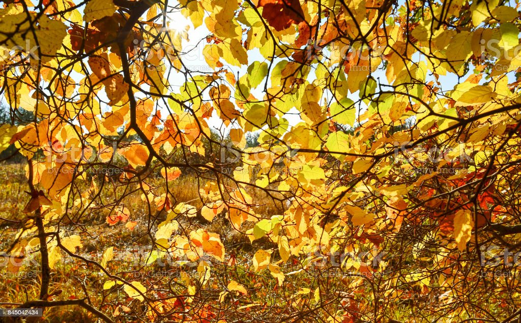 Background with yellow and red autumn leaves on a tree stock photo