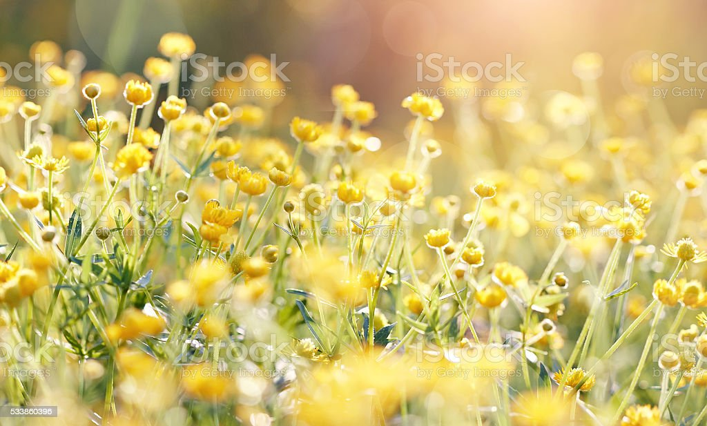 Background with yellow flowers of a buttercup stock photo