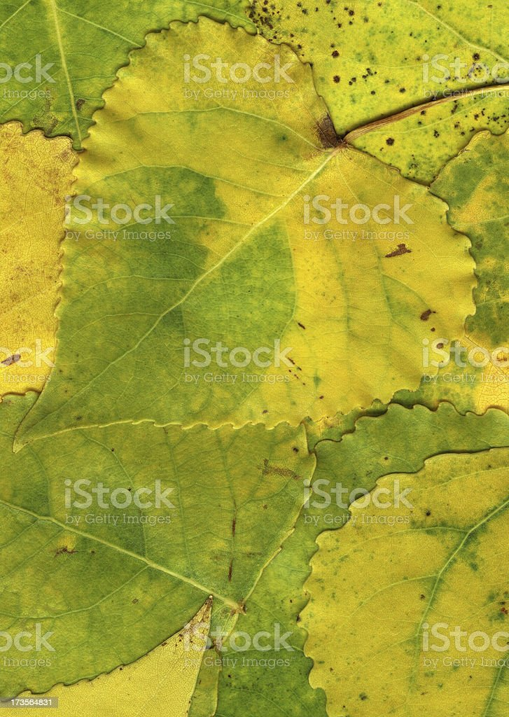 Backgrounds: Autumn Leaves of a poplar stock photo