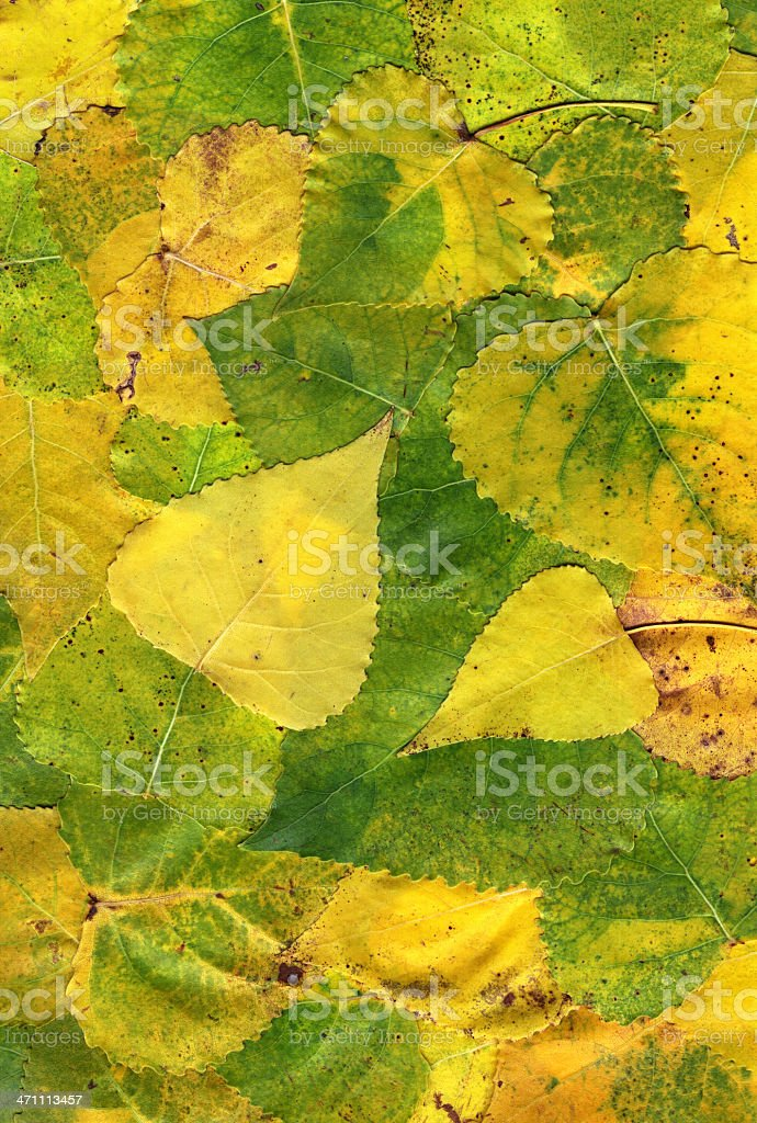 Backgrounds - Autumn Leaves of a poplar stock photo