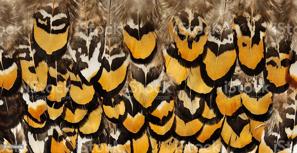 Backgrounds of birds feathers. Pheasant feathers stock photo